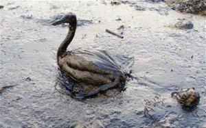 oiseau-souille-maree-noire+3202003